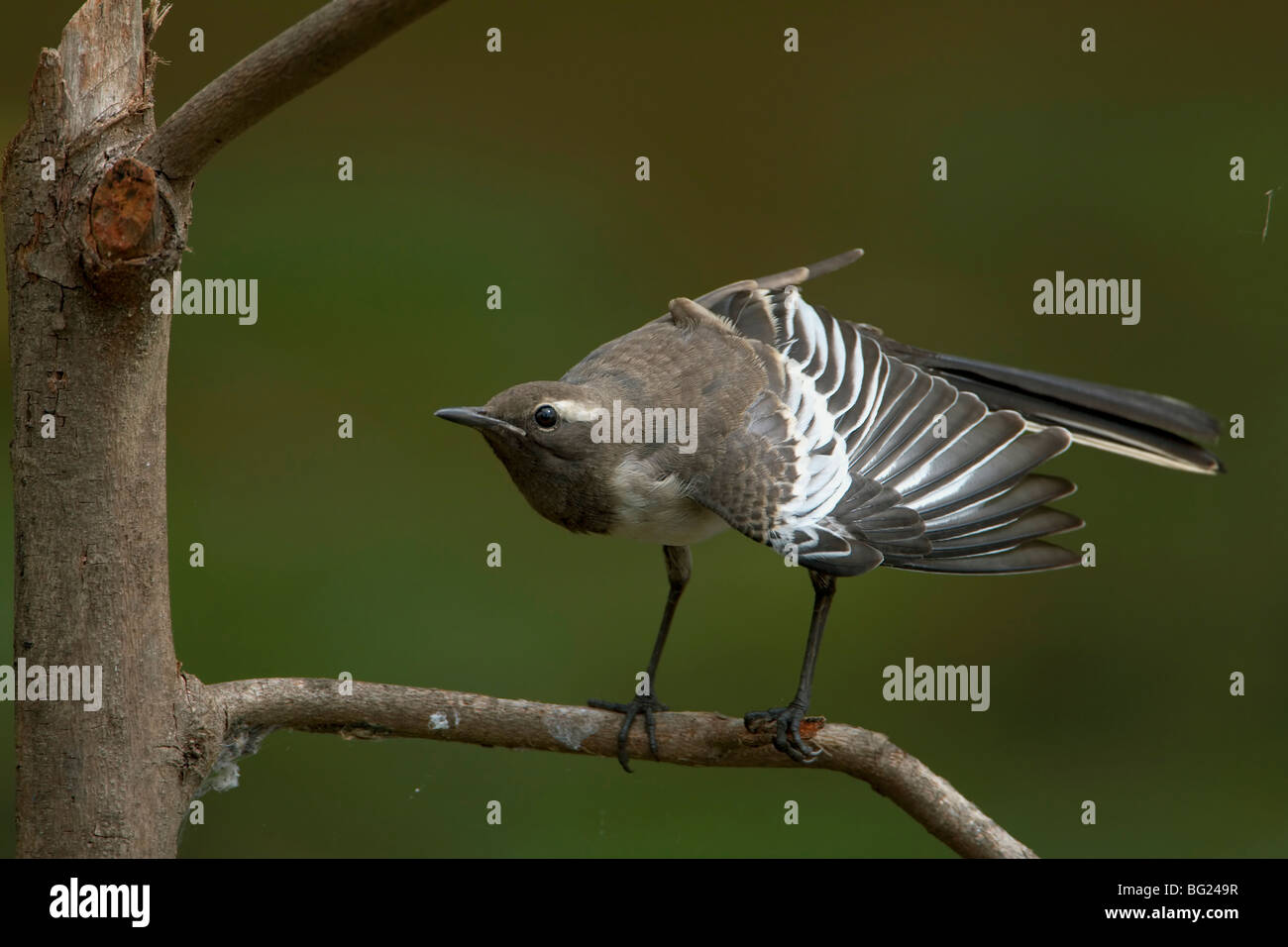 Great Pied wagtail with wings open action - Stock Image
