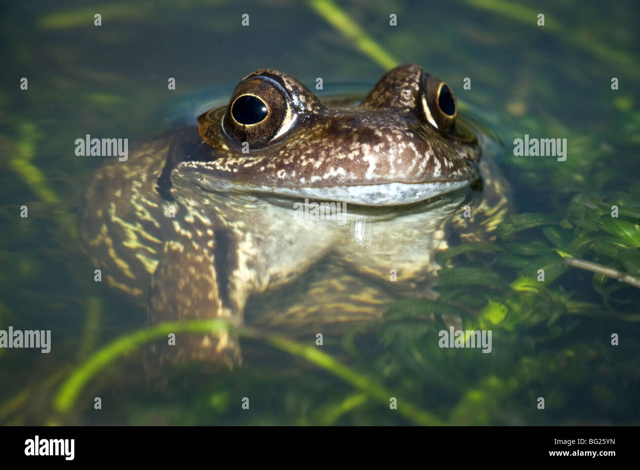 Single Common Frog (Rana temporaria) close up and enhanced with flash in the pond directly from the front - Stock Image