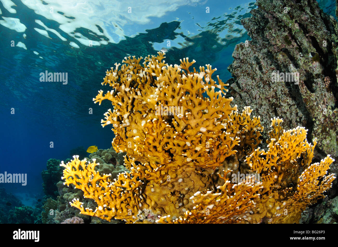 'Fire coral', Millepora dichotoma, underwater on coral reef with surface in view, 'Red Sea' - Stock Image