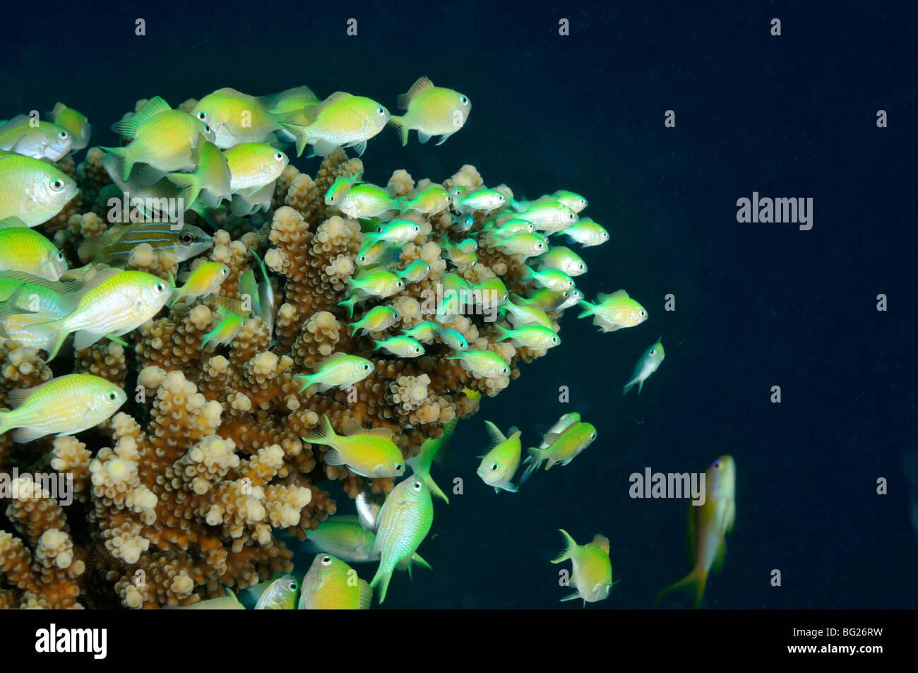 Bluegreen chromis fish, Chromis viridis, on Acropora lamarcki coral of reef, 'Red Sea' - Stock Image