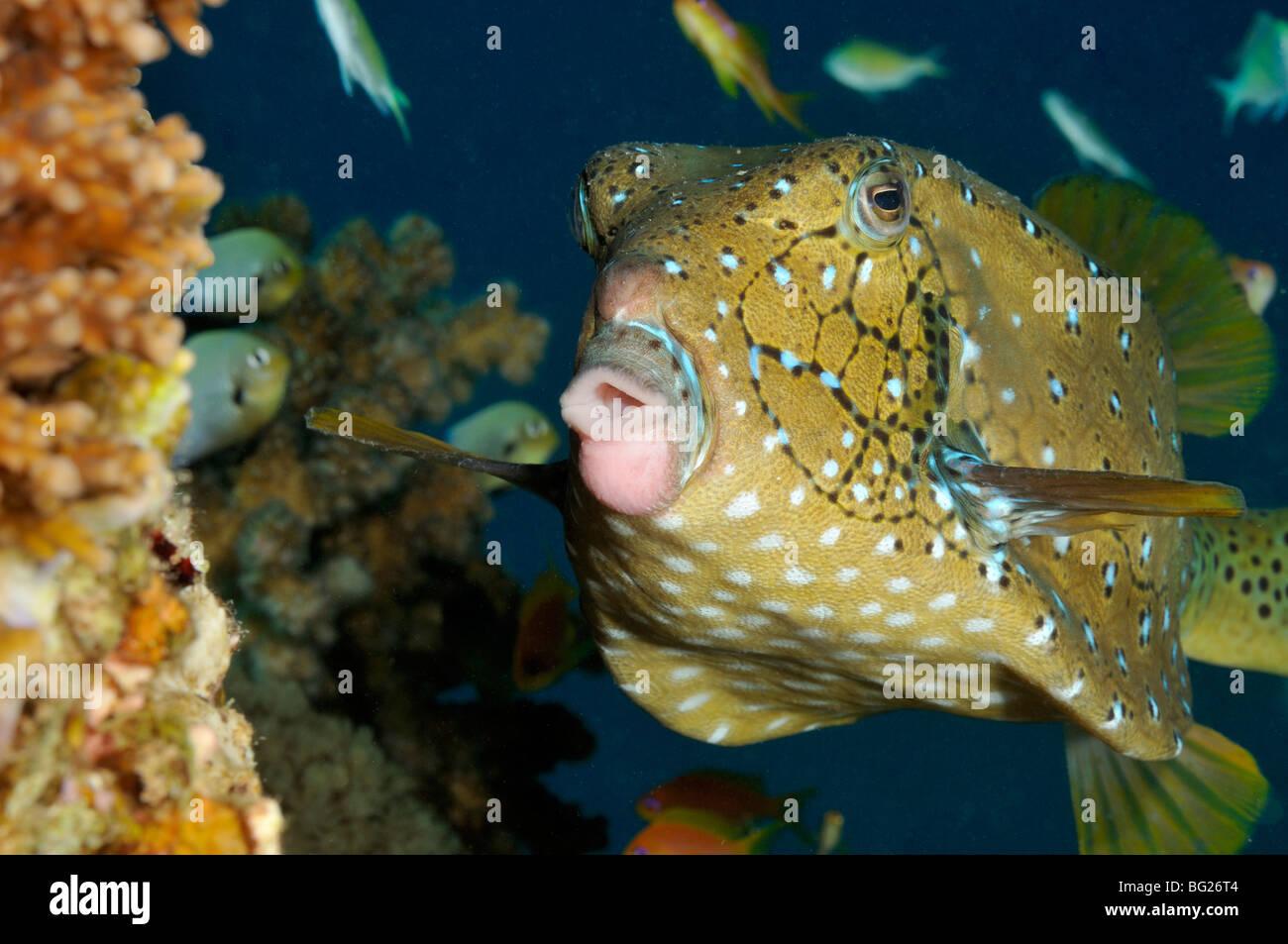 Yellow boxfish, Ostracion cubicus, fish on coral reef - Stock Image