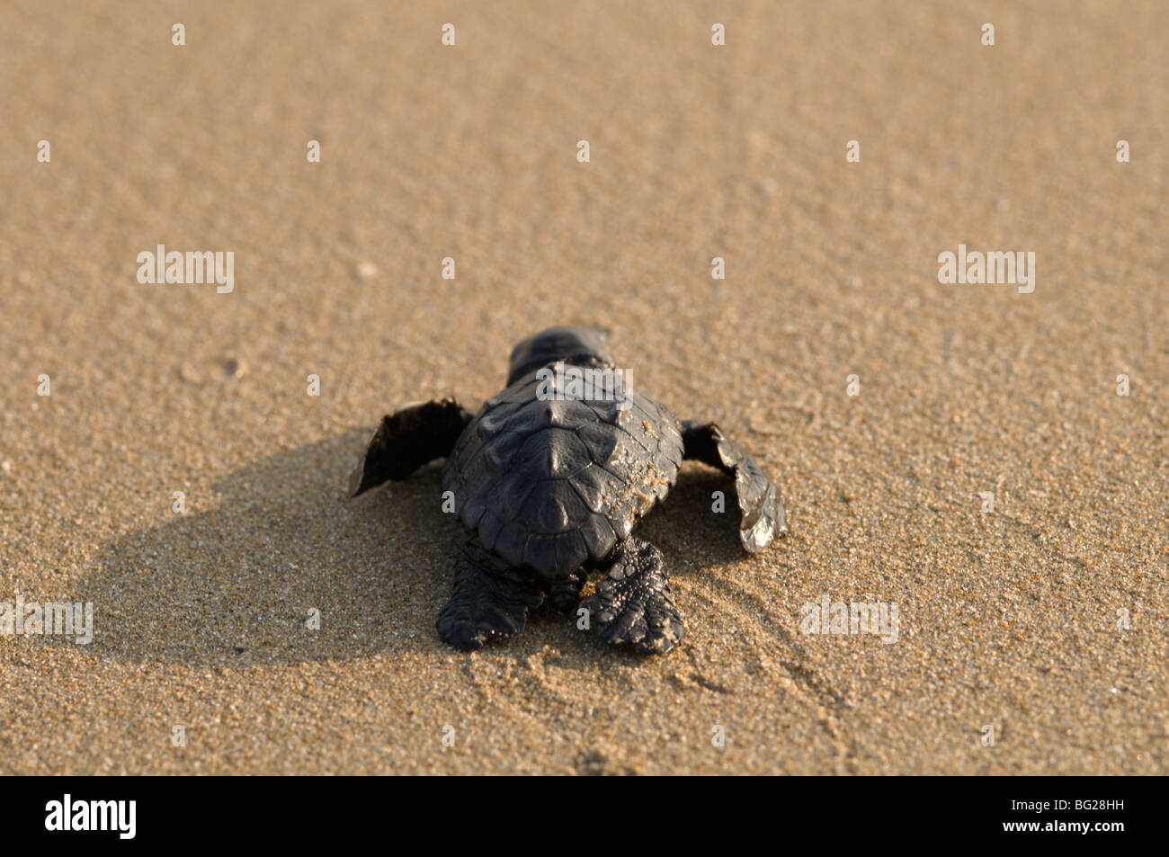 Zante. Greek island. October. Baby Loggerhead turtle (Caretta caretta) just hatched out from nest making its way Stock Photo