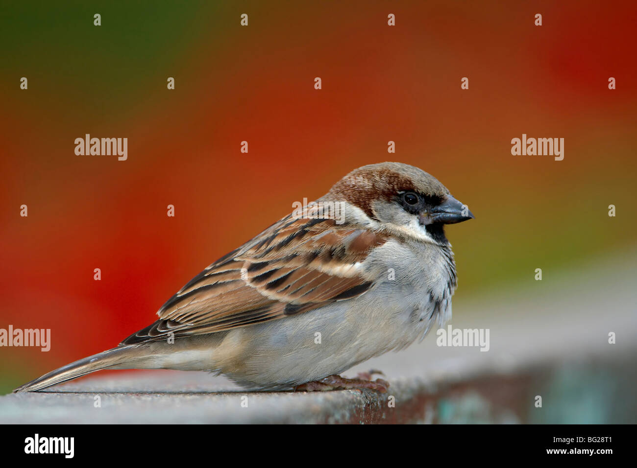 Cute male House Sparrow with red background on wall - Stock Image