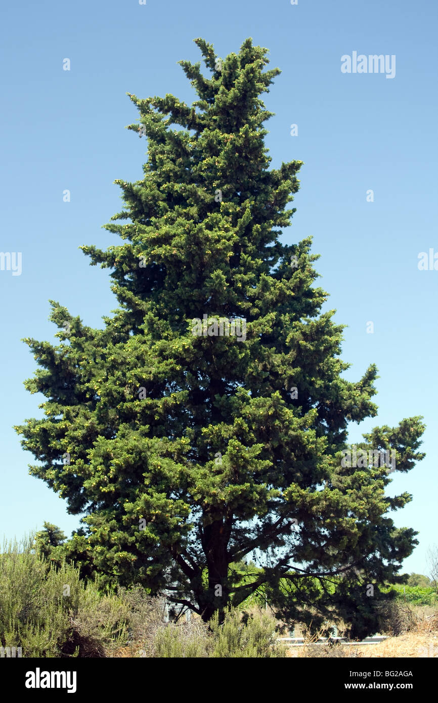 coniferous against blue sky - Stock Image
