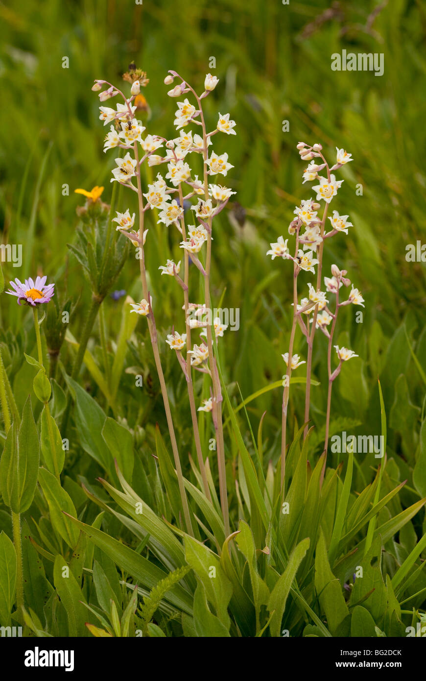 Death Camas, Wand Lily or Poison Sego, Anticlea elegans = Zigadenus elegans, The Rockies, Colorado, USA, North America. - Stock Image