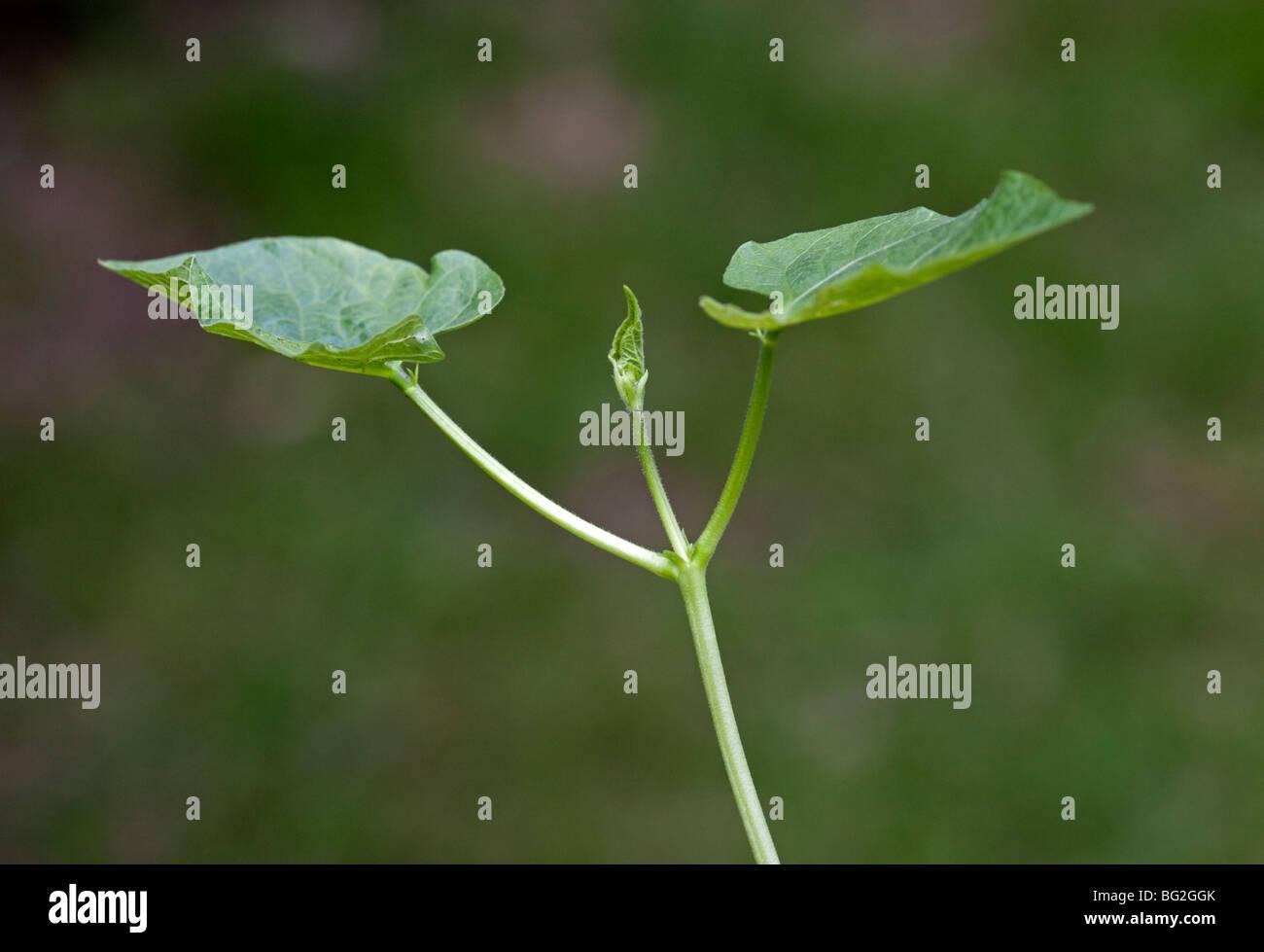 Runner Bean Seedling - Stock Image
