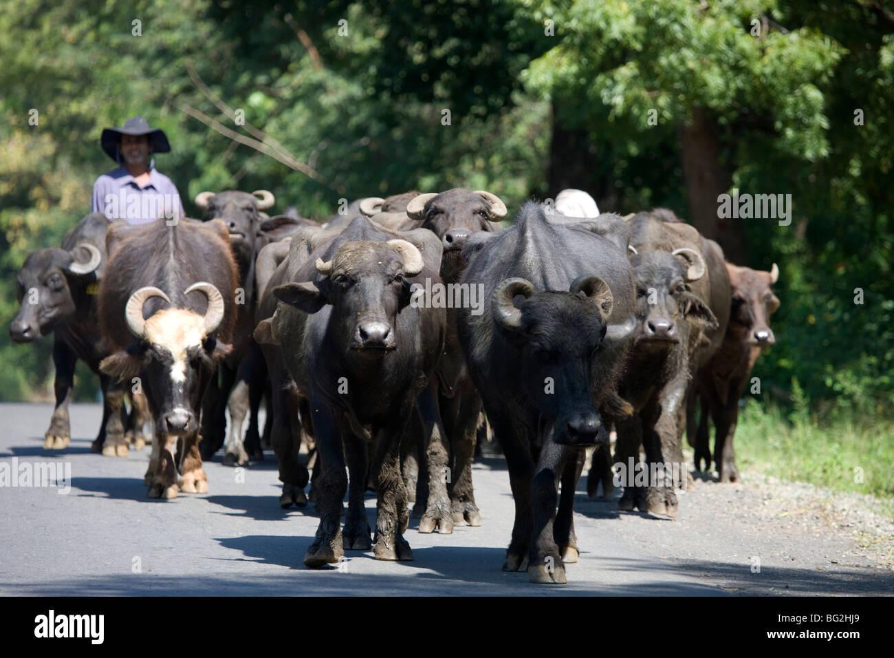 Buffalo's walking down the road in Tanamalwila, Sri Lanka - Stock Image