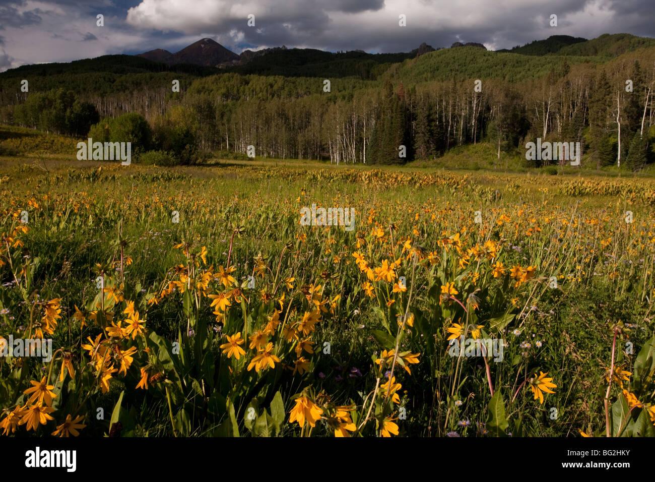 Mountain Sneezeweed Stock Photos & Mountain Sneezeweed Stock Images ...