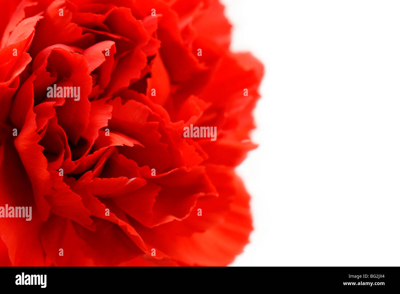 Red Carnation - Stock Image