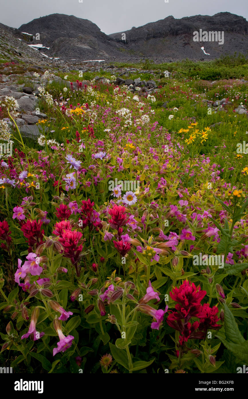 Magenta Paintbrush Castilleja parviflora, Lewis' Monkey Flower Mimulus lewisii and other flowers, high altitude - Stock Image