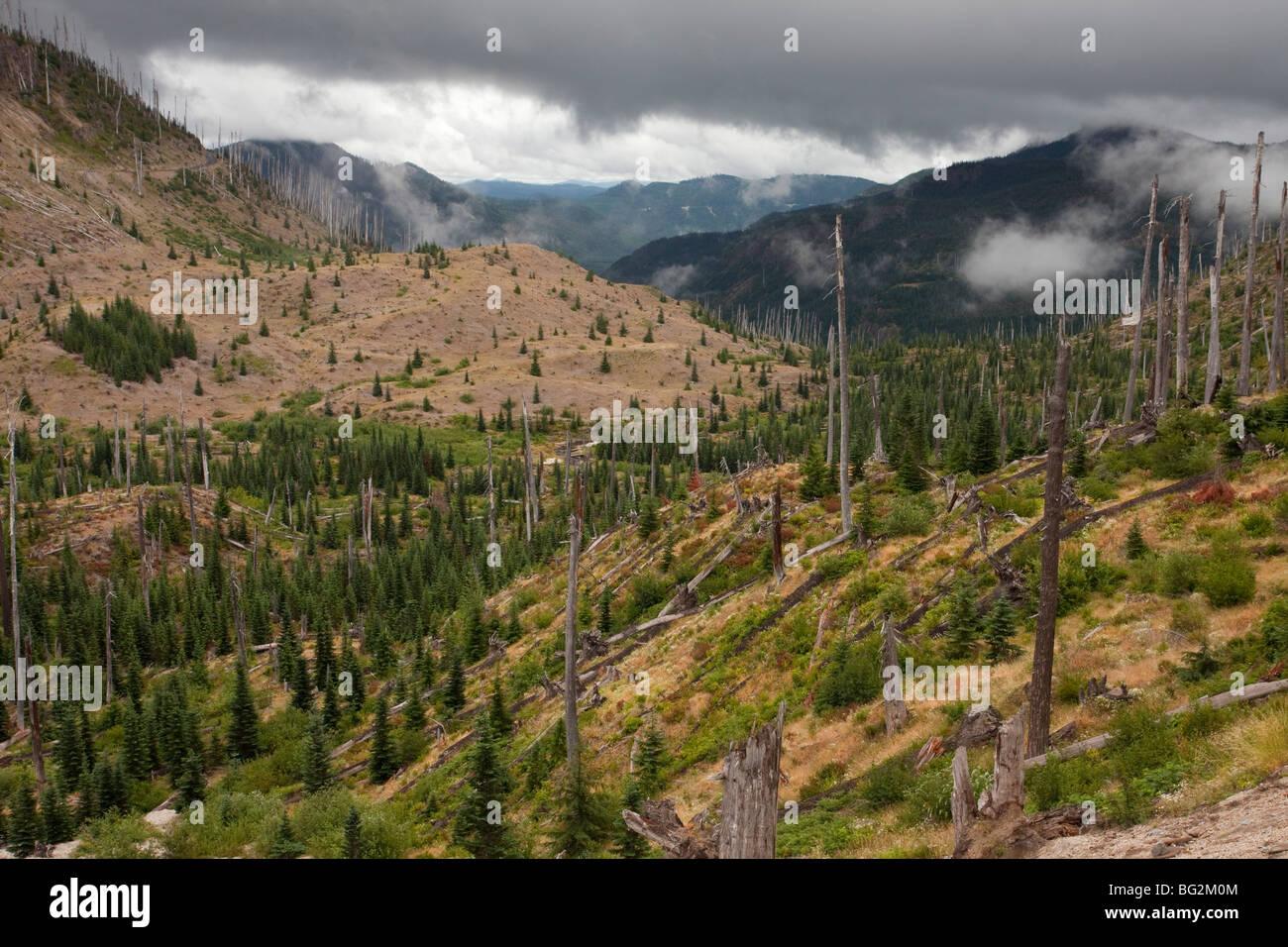 Burnt coniferous forest regenerating following eruption, on Mount St Helens National Park, Washington, USA, North - Stock Image