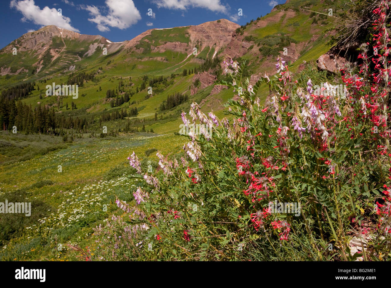 Chainpod Hedysarum boreale with Scarlet Gilia Ipomopsis aggregata, Rustler's Gulch, Maroon Bells-Snowmass Wilderness - Stock Image