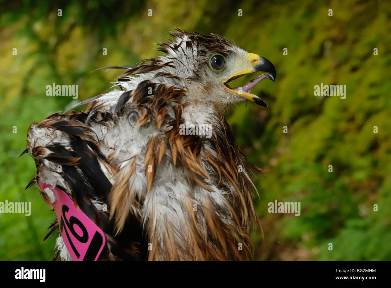 Tagged and bedraggled Red Kite, Milvus milvus nestling before it's return to the nest in a wet Welsh woodland Stock Photo