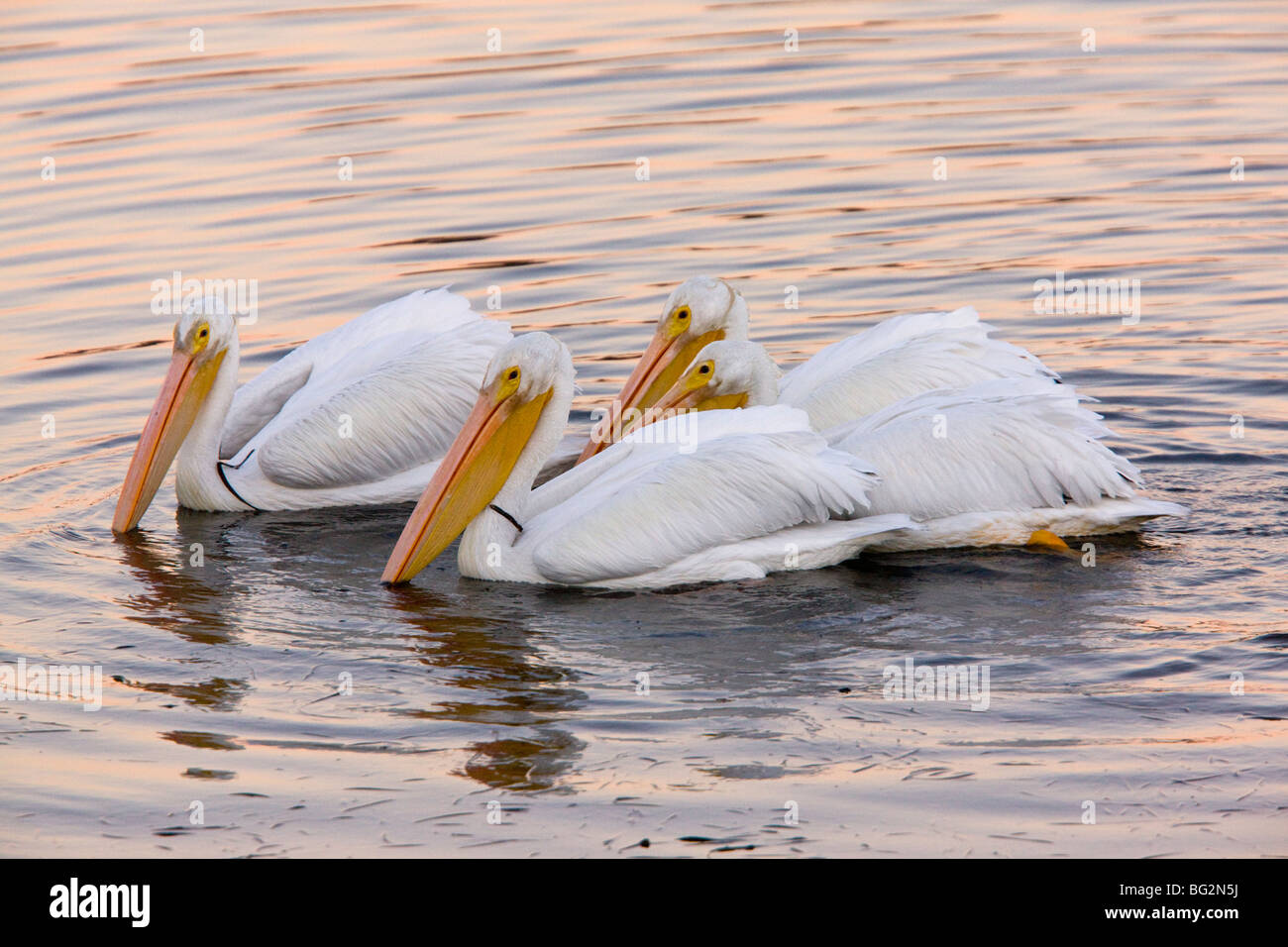 Group of American White Pelicans Pelecanus erythrorhynchos, feeding collectively at sunset; Bodega Bay, California, Stock Photo