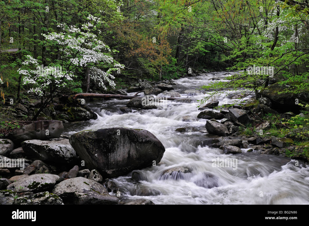 Spring Dogwoods in bloom along the Middle Prong of the Little River in Tremont Great Smoky Mountains National Park - Stock Image
