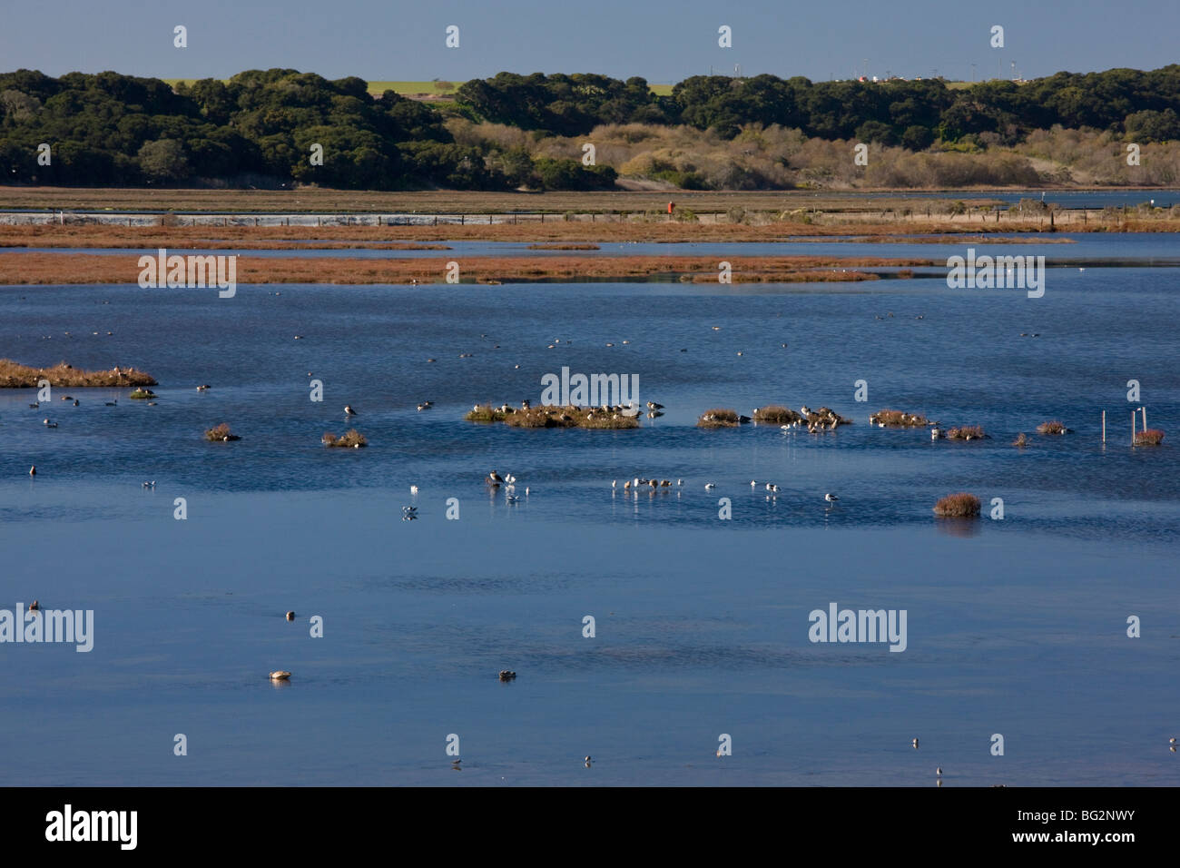 Saltmarsh, mudflats and estuarine habitat, with feeding and roosting waterfowl, at Elkhorn Slough National reserve, - Stock Image