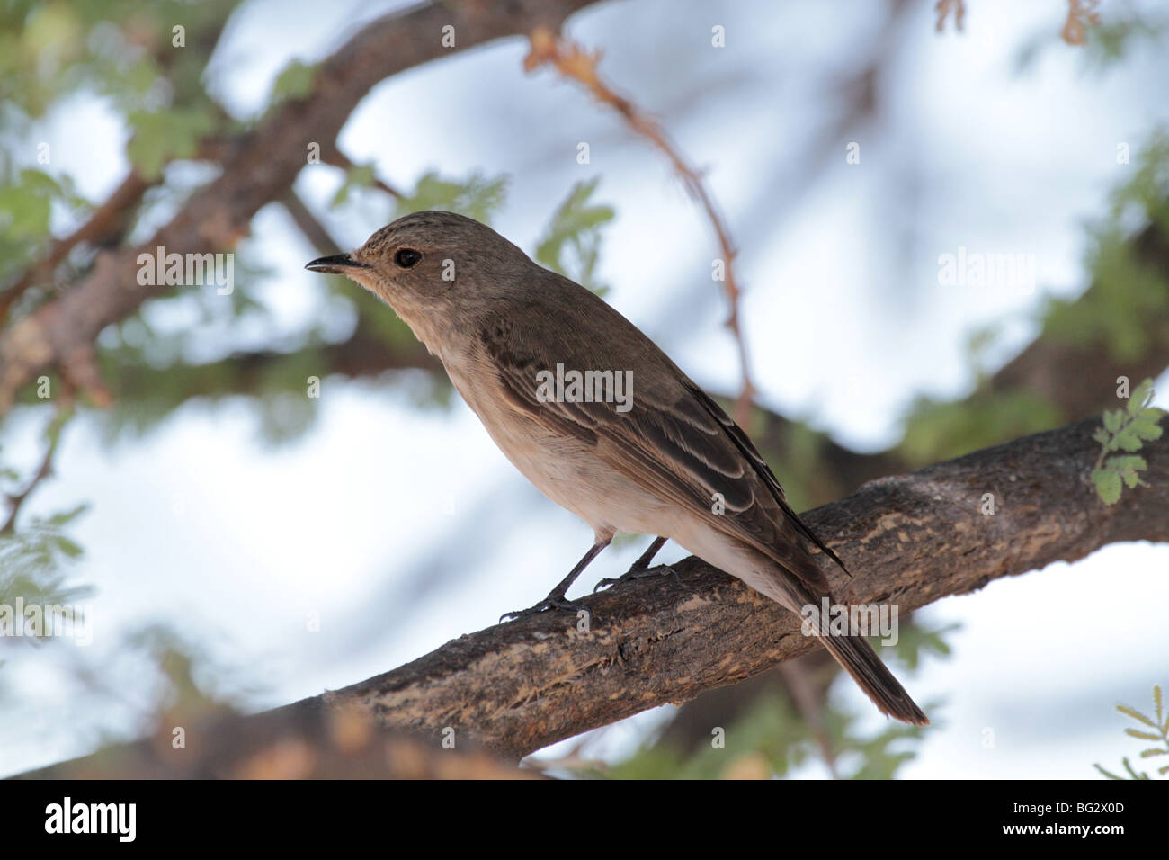 Chat flycatcher adult - Stock Image