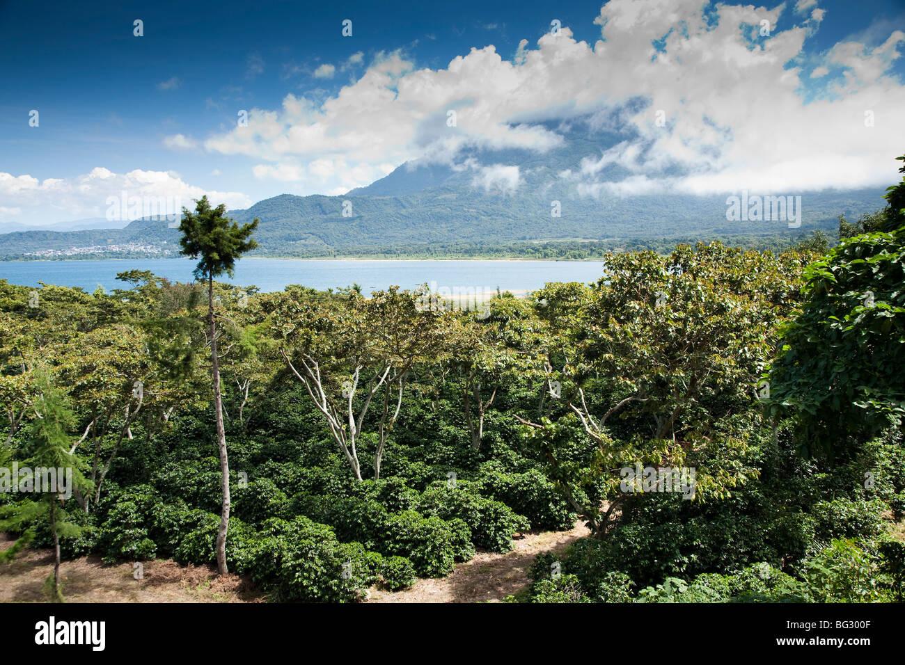 Coffee Finca near San Lucas Toliman Lake Atitlan Guatemala. - Stock Image