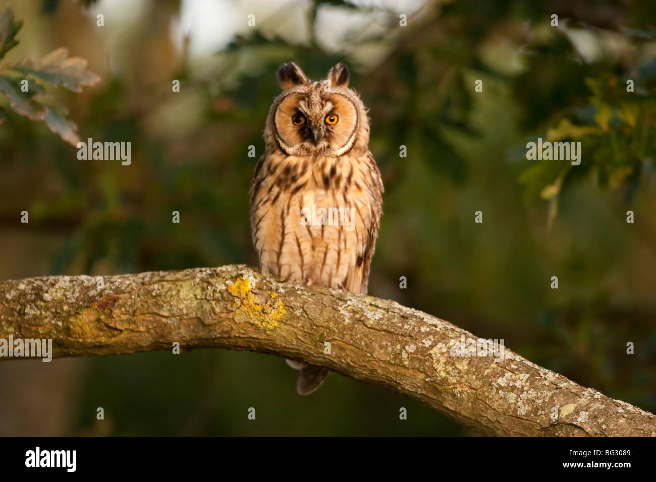 Long Eared Owl on the Isle of Wight - Stock Image
