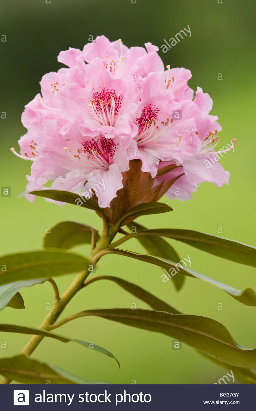 Pink rhododendron blossom on green - Stock Image