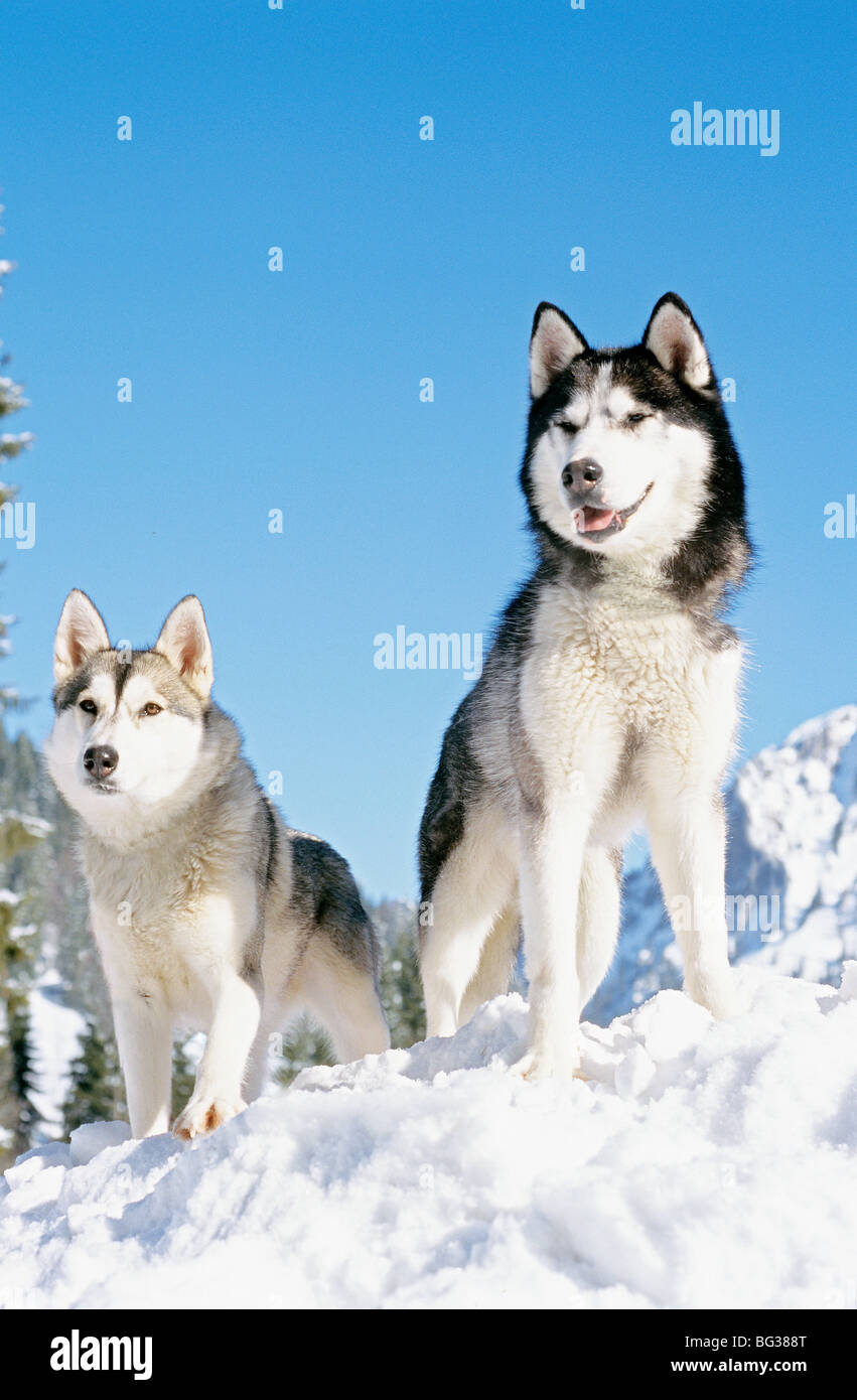 two Siberian Husky dogs - standing in the snow - Stock Image