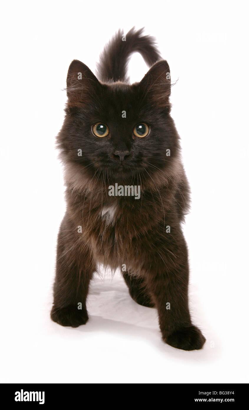 Black Siberian Cat Kitten Standing Stock Photo Alamy