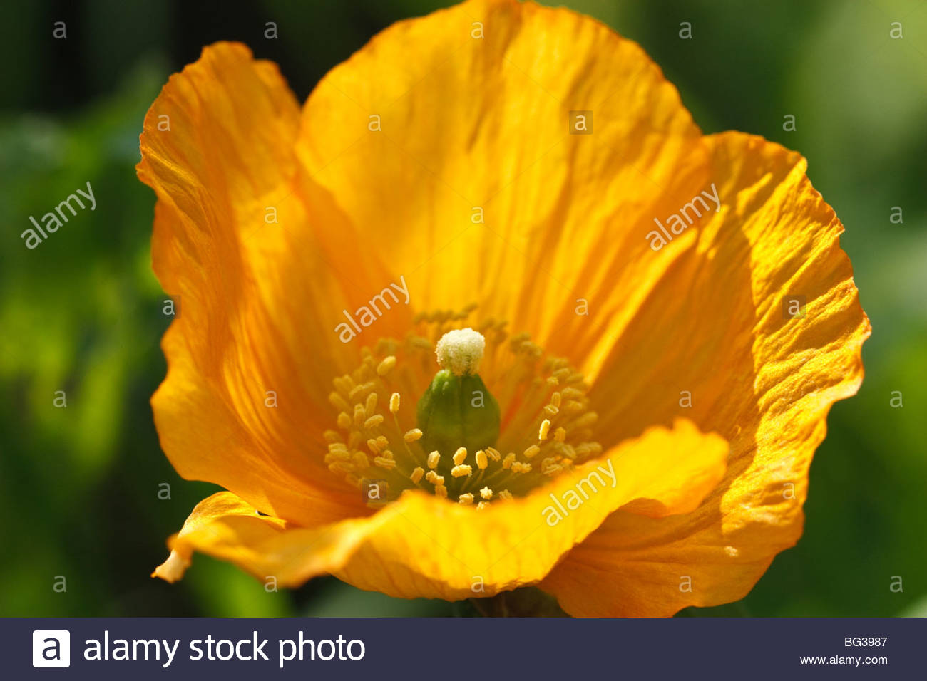 Poppy Flower Stock Photos Poppy Flower Stock Images Alamy
