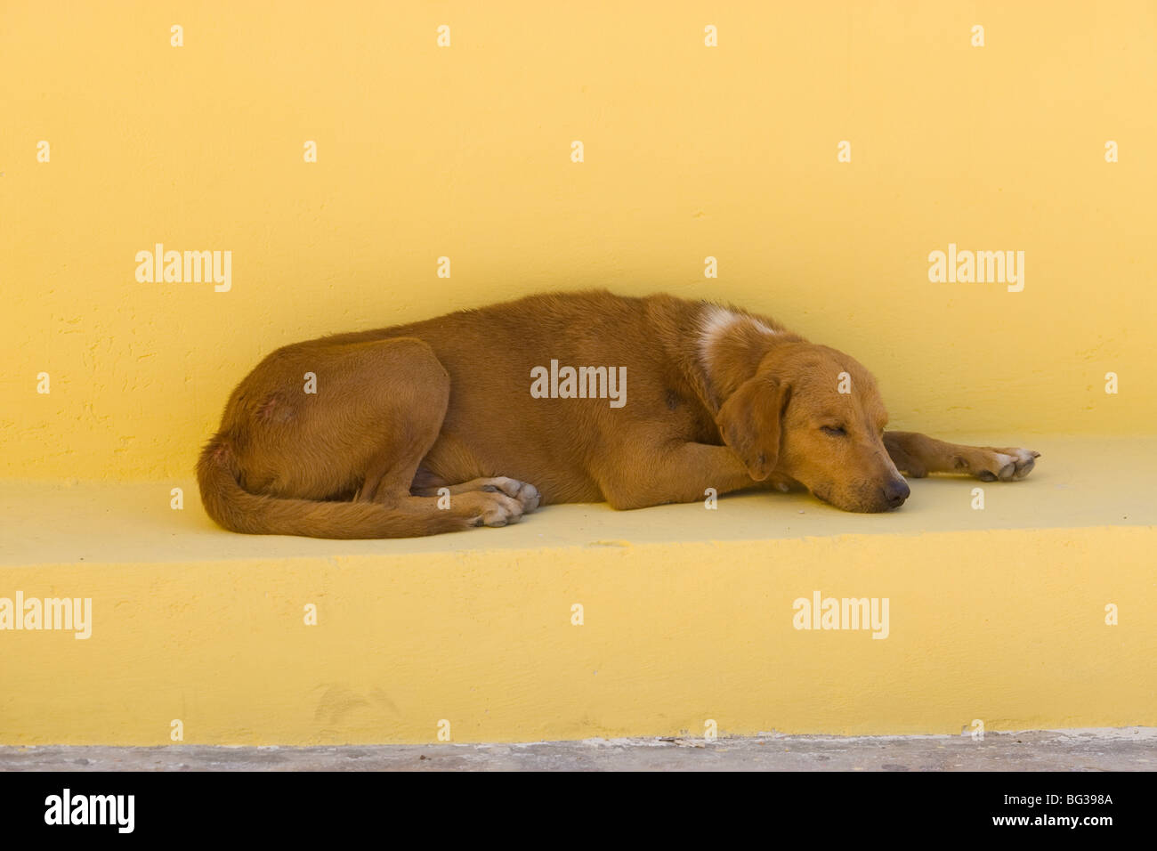 A dog sleeping on a yellow bench in Mexico - Stock Image