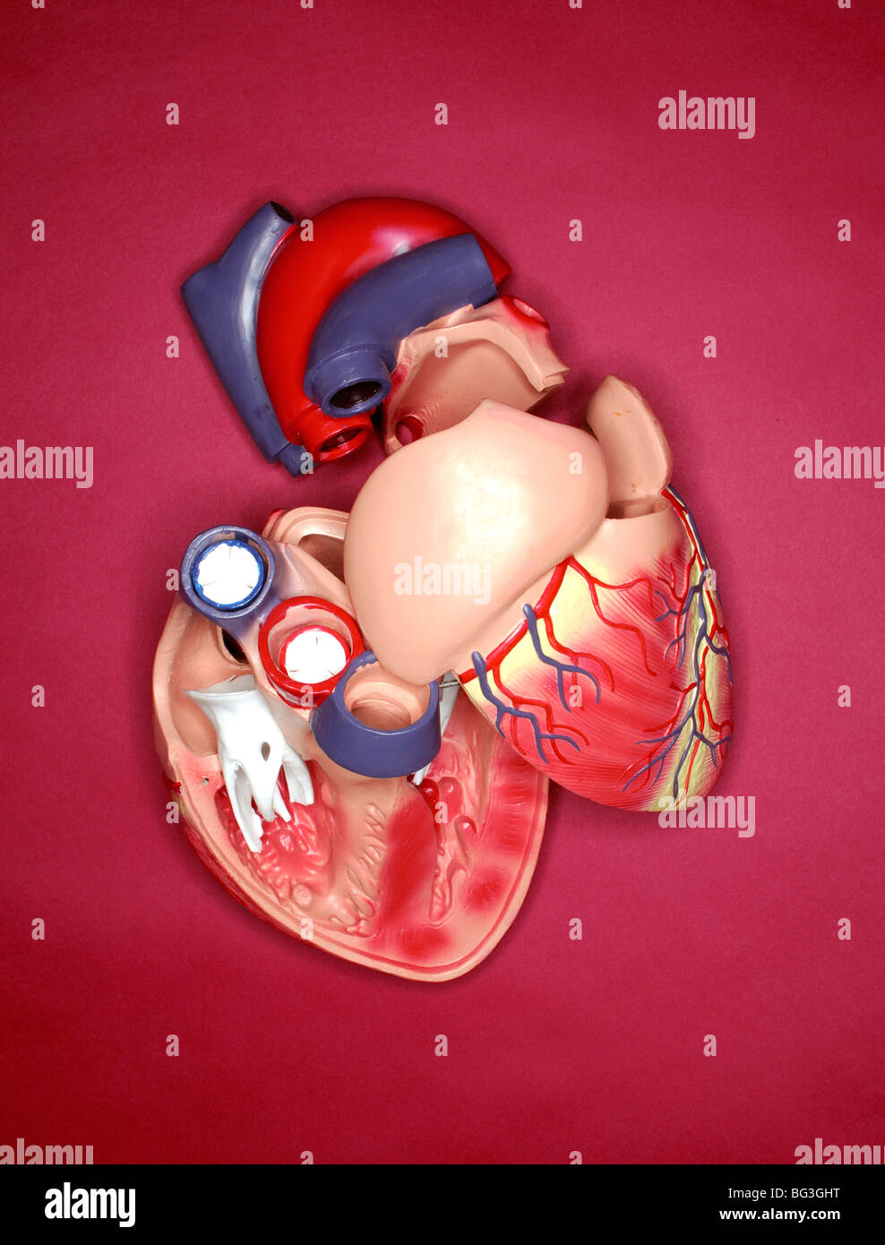 A plastic medical model of the human heart - Stock Image