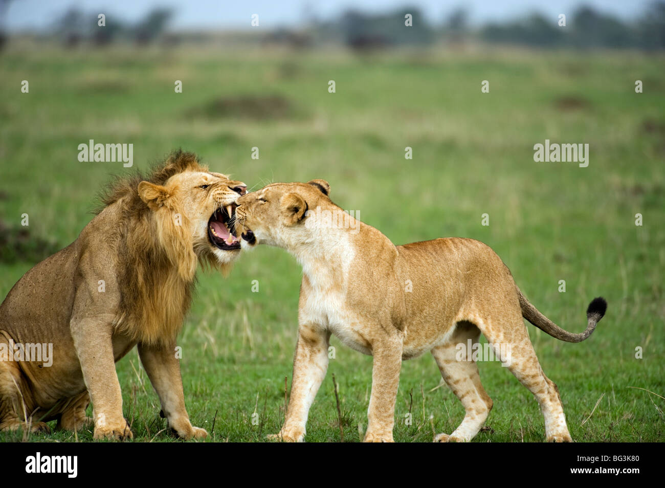 Courting Lions - Stock Image