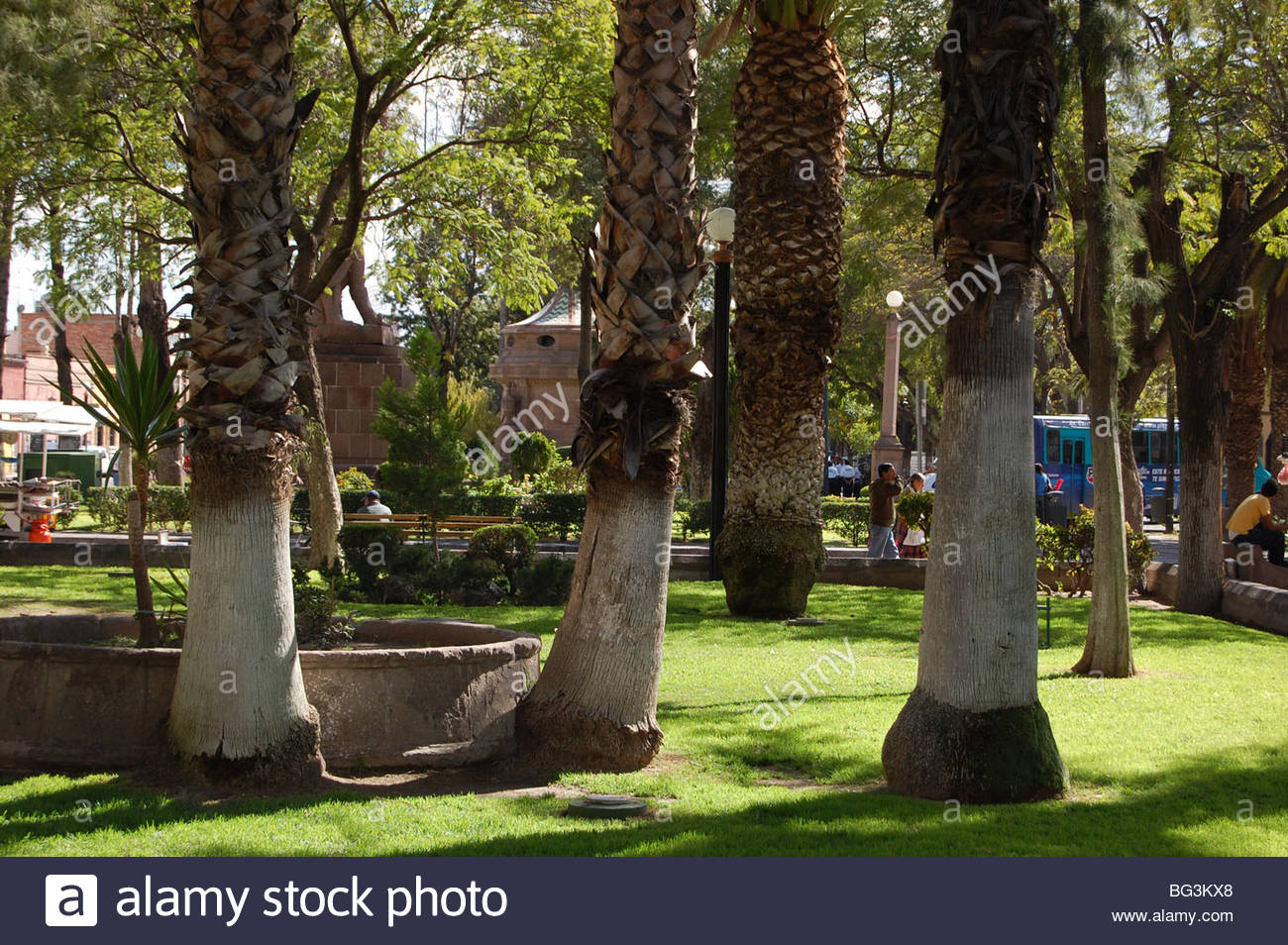 Urban park scene in Mexico with white painted tree trunks of palm trees. Stock Photo