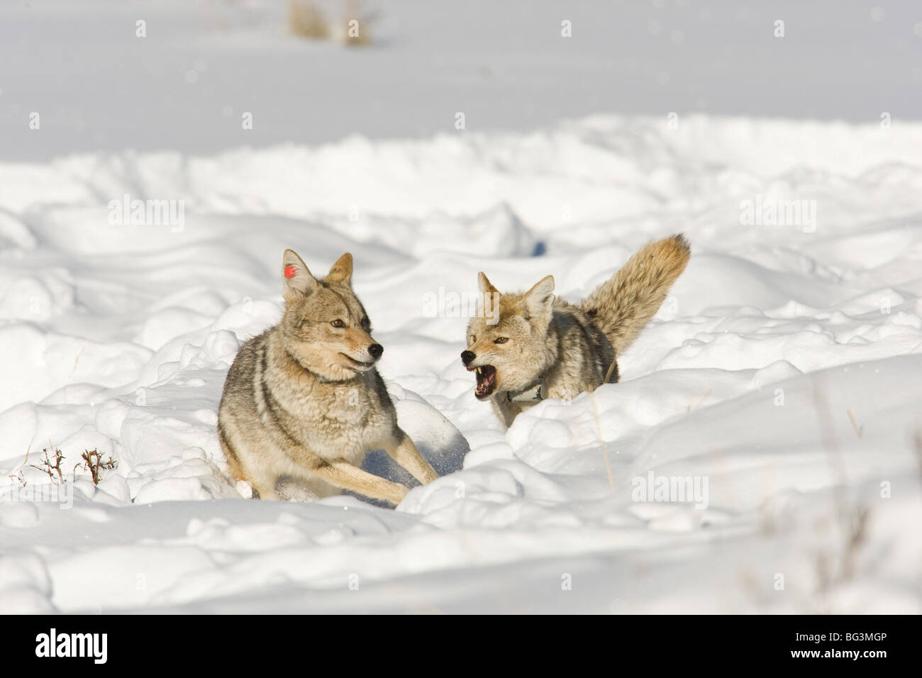 Coyote (Canis latrans) snarling and chasing a mate in the snow - Stock Image