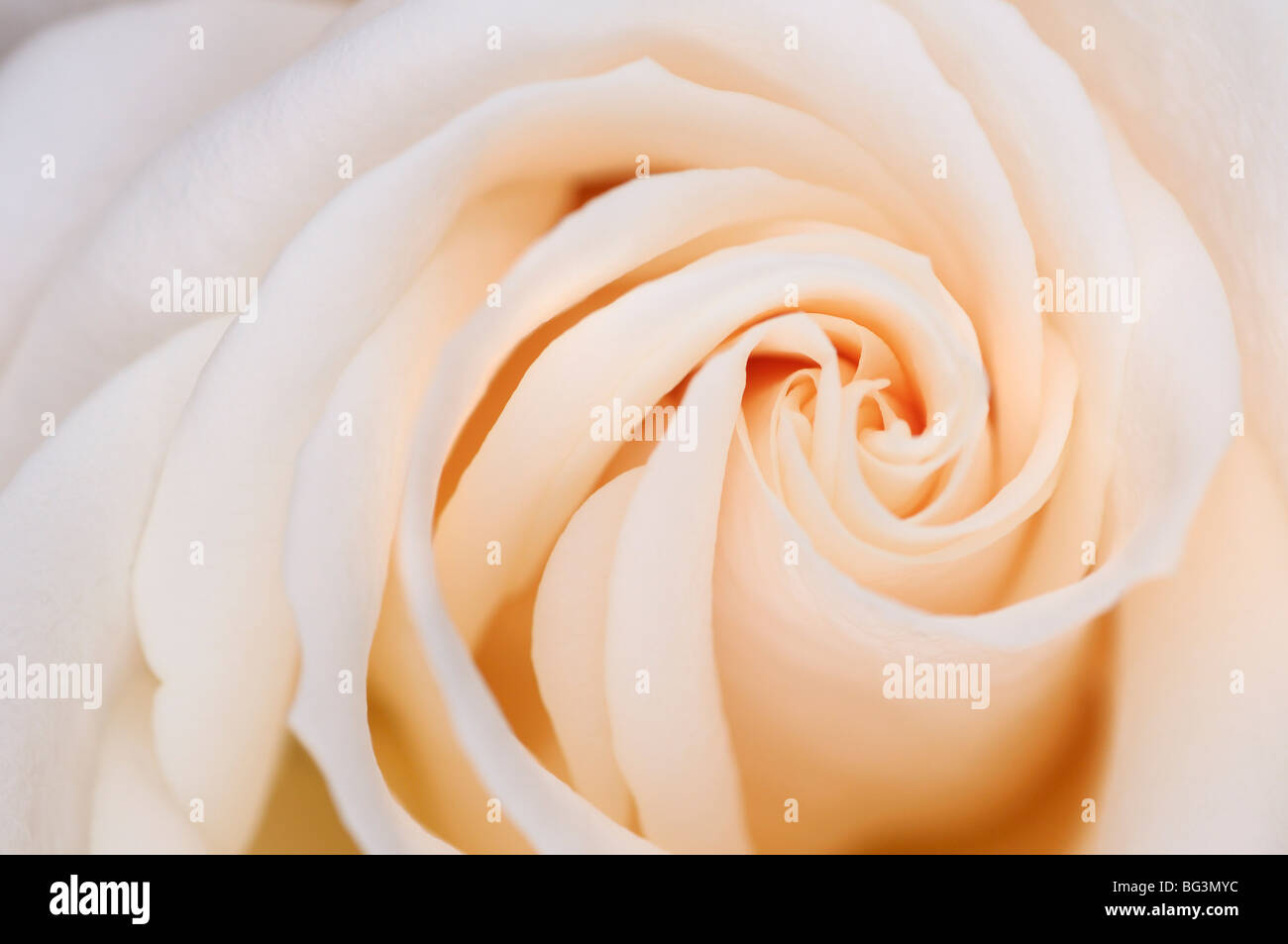 Abstract close up of the spiral layer whorl pattern of petals of a white flush hybrid tea rose - Stock Image