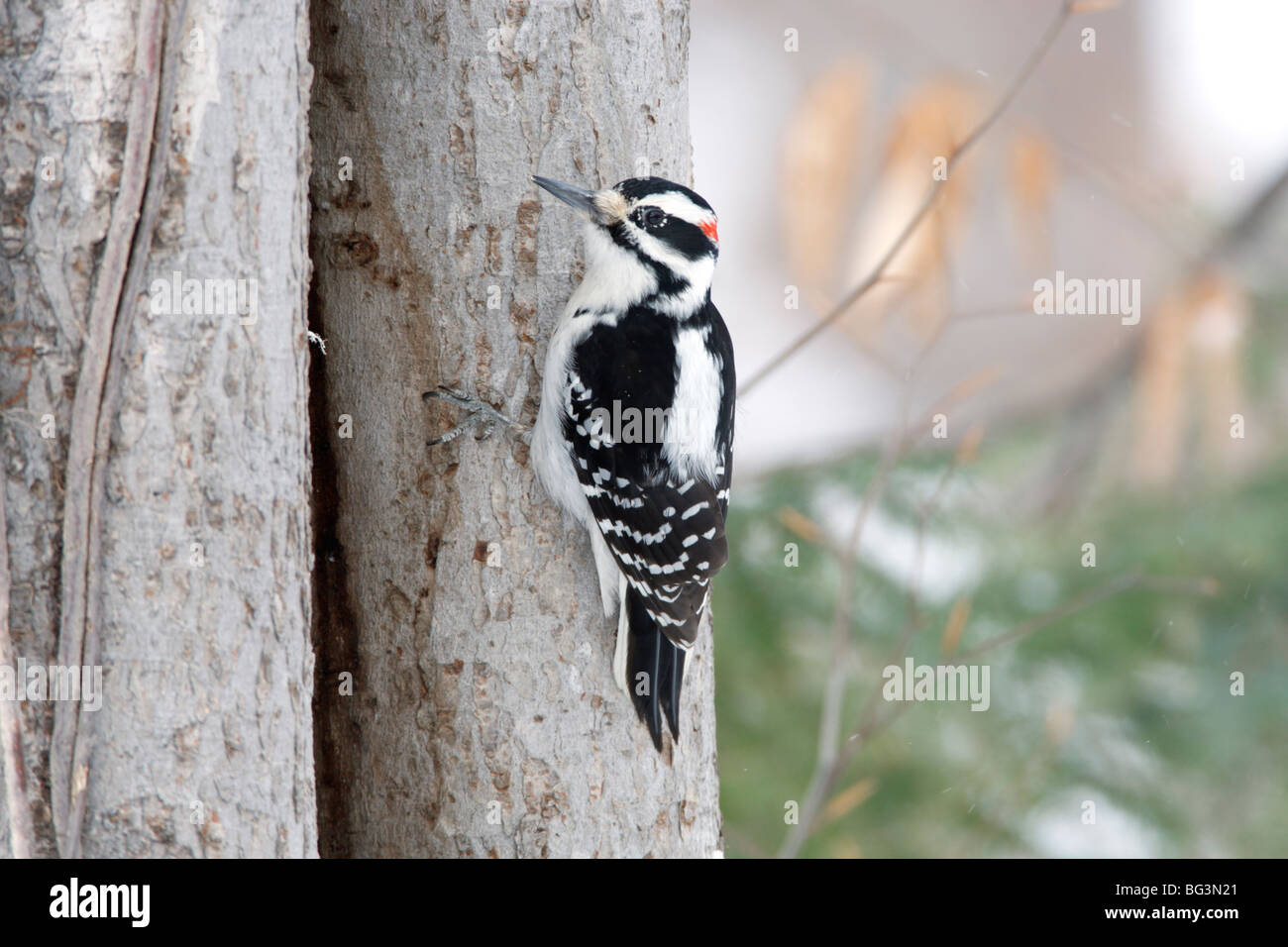 Hairy Woodpecker - Stock Image