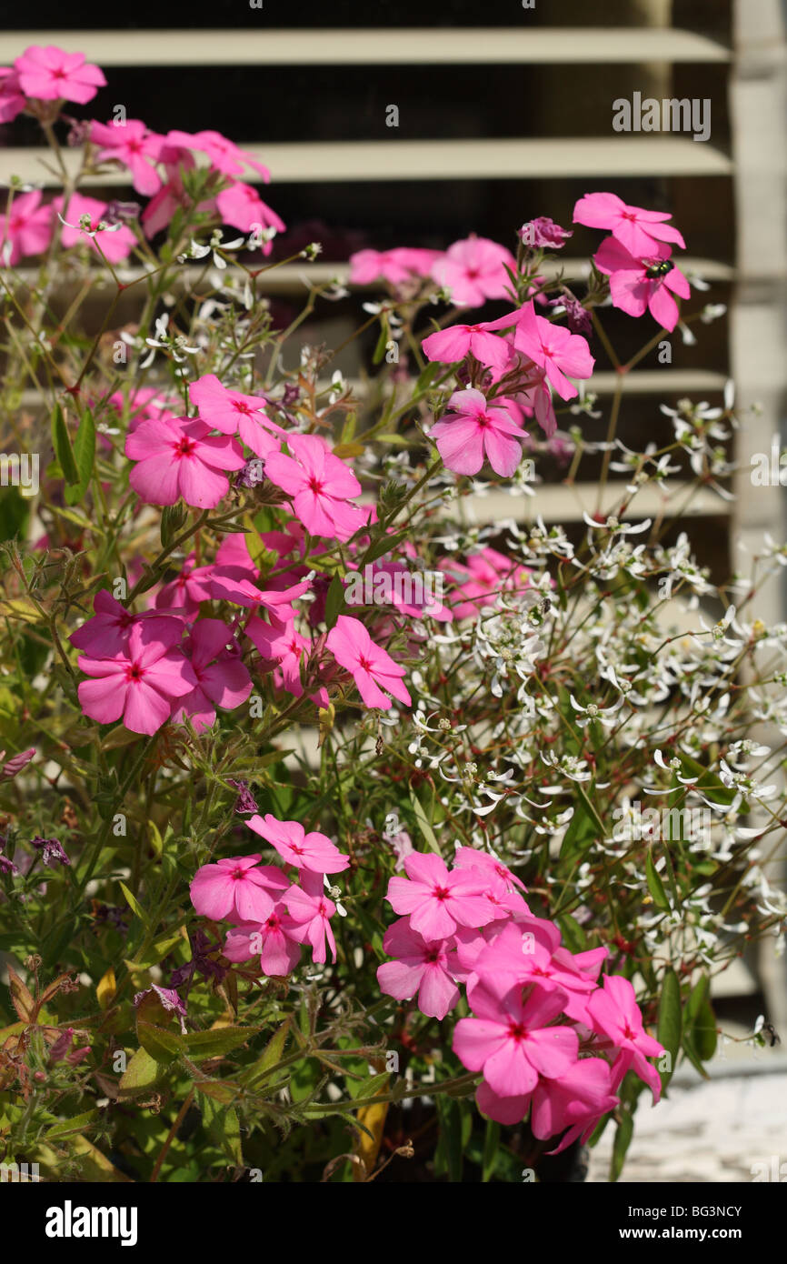 Pink Flowers in Window Box at the National Botanic Garden of Belgium at Meise (near Brussels) in Flemish Brabant, - Stock Image