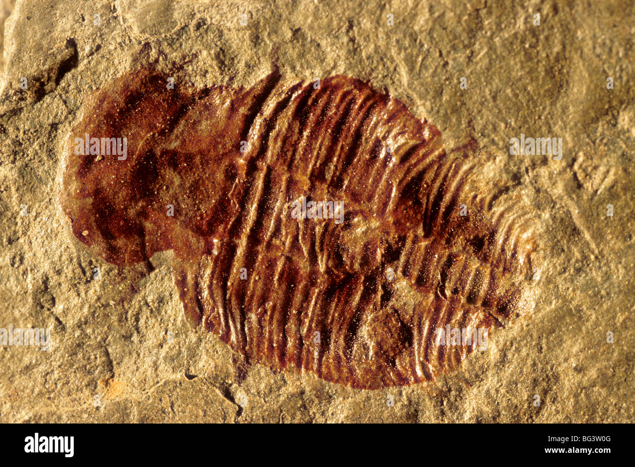Fossil trilobite from Bright Angel Shale, early to mid Cambrian age, Grand Canyon National Park, Arizona, USA - Stock Image