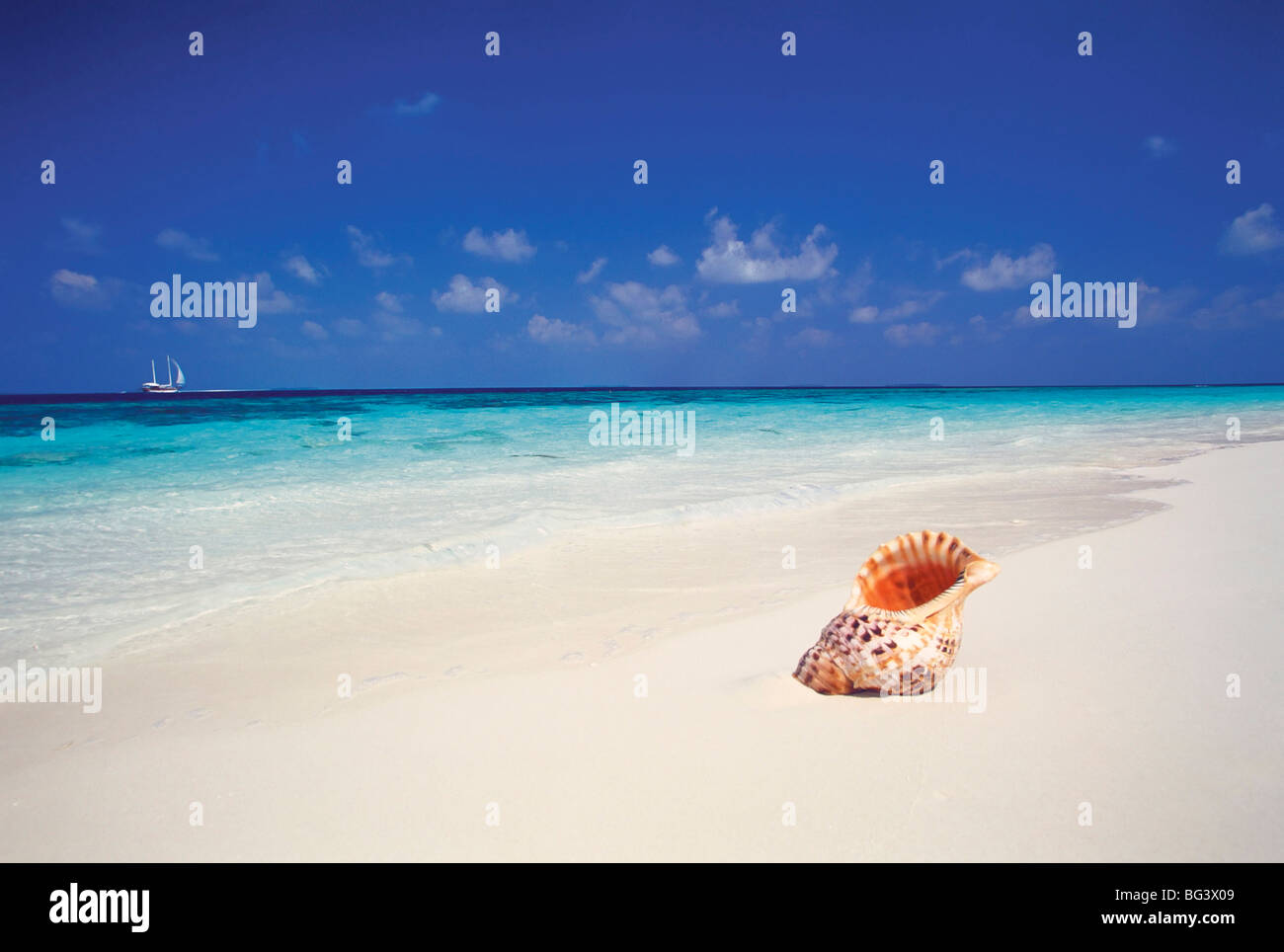 Shell on a deserted beach, Maldives, Indian Ocean, Asia - Stock Image