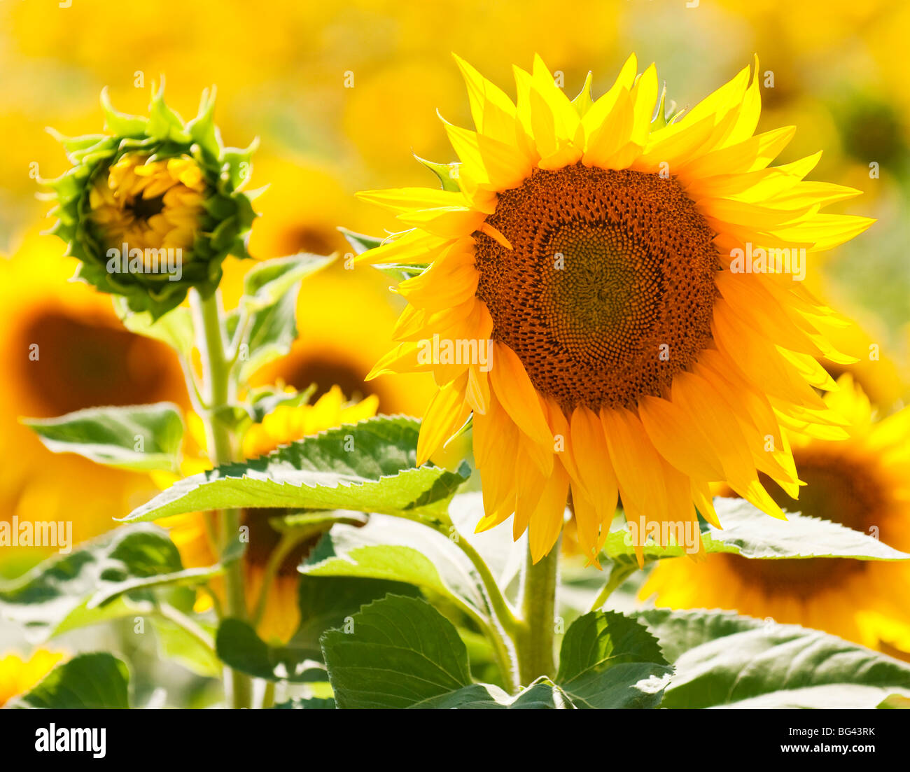 Close-up of a sunflower, Provence, France - Stock Image