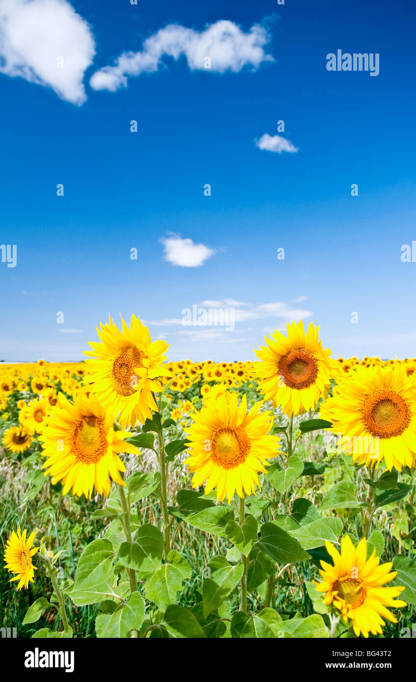 Field of sunflowers, Provence, France - Stock Image