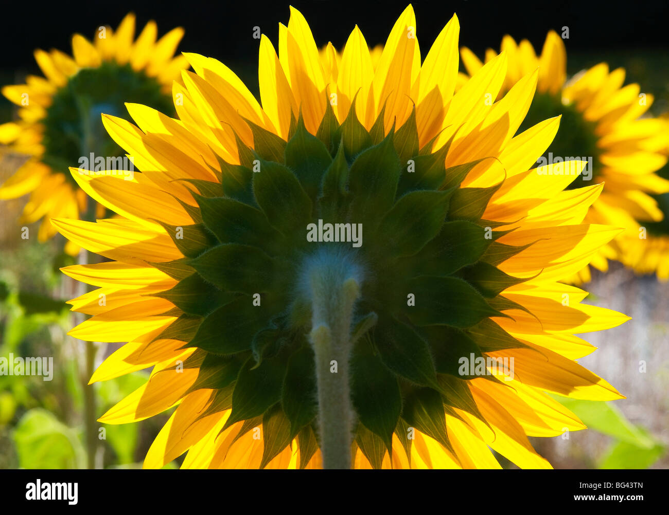 Sunflowers in the morning light, Provence, France - Stock Image