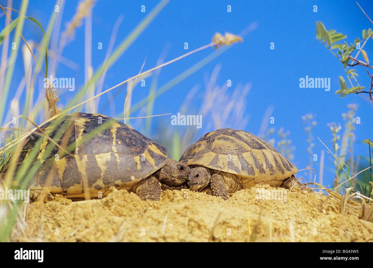 two turtles - fighting - Stock Image