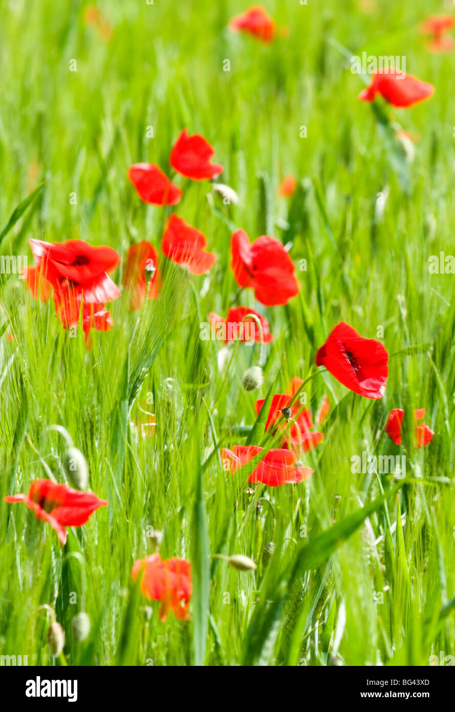 Poppies in Valle de Orcia, Tuscany, Italy - Stock Image