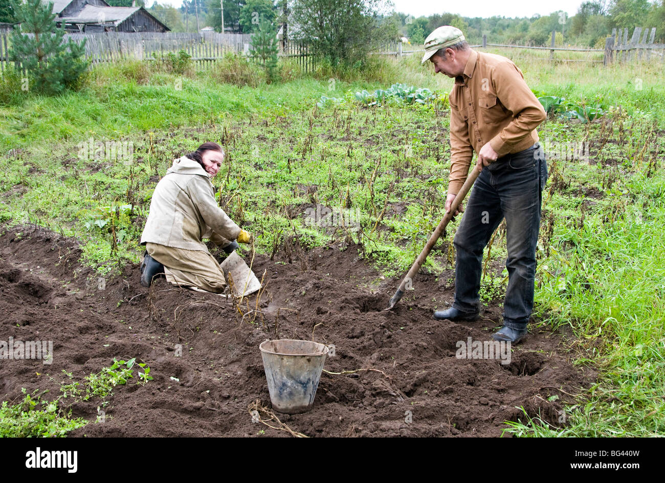 Harvesting potatoes on dacha's land, Somino village, Leningrad region, Russia - Stock Image