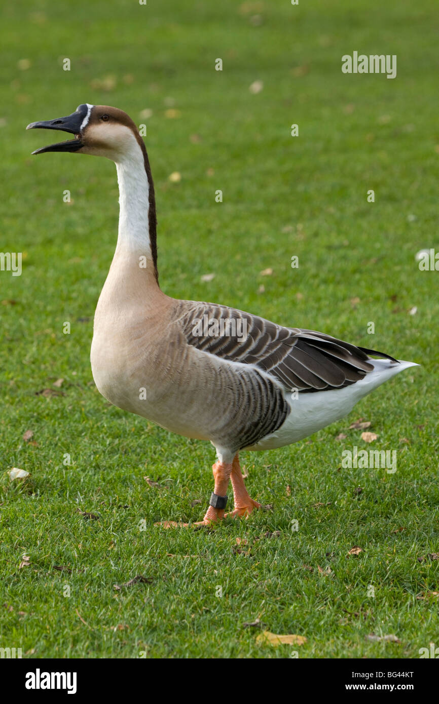 Wildgoose by croaking the rutt - Stock Image