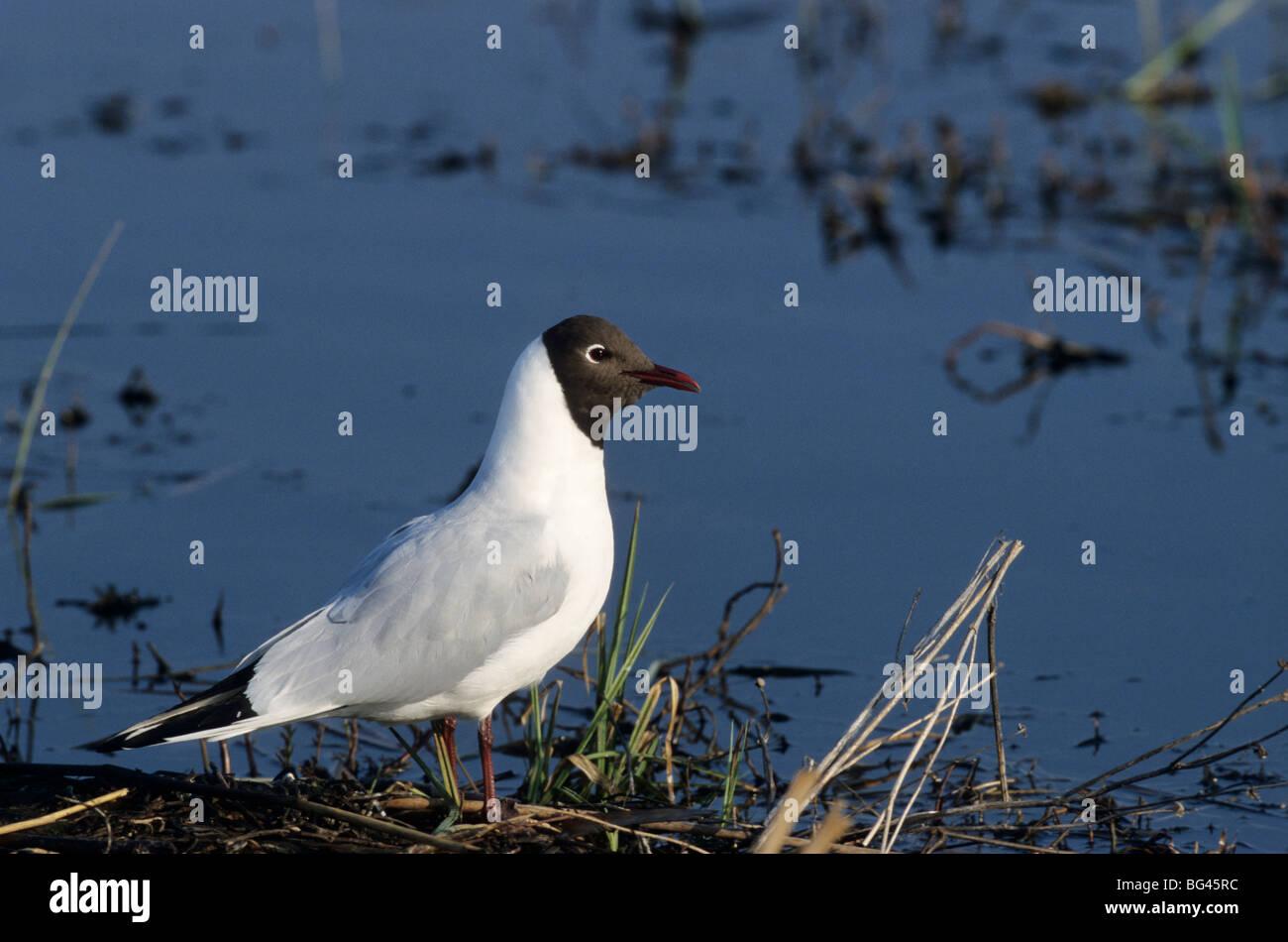 black-headed gull, summer dress , larus ridibundus - Stock Image