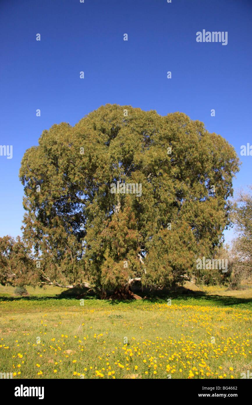 Israel, Coastal Plain, Eucalyptus tree in Wadi Hatzav - Stock Image