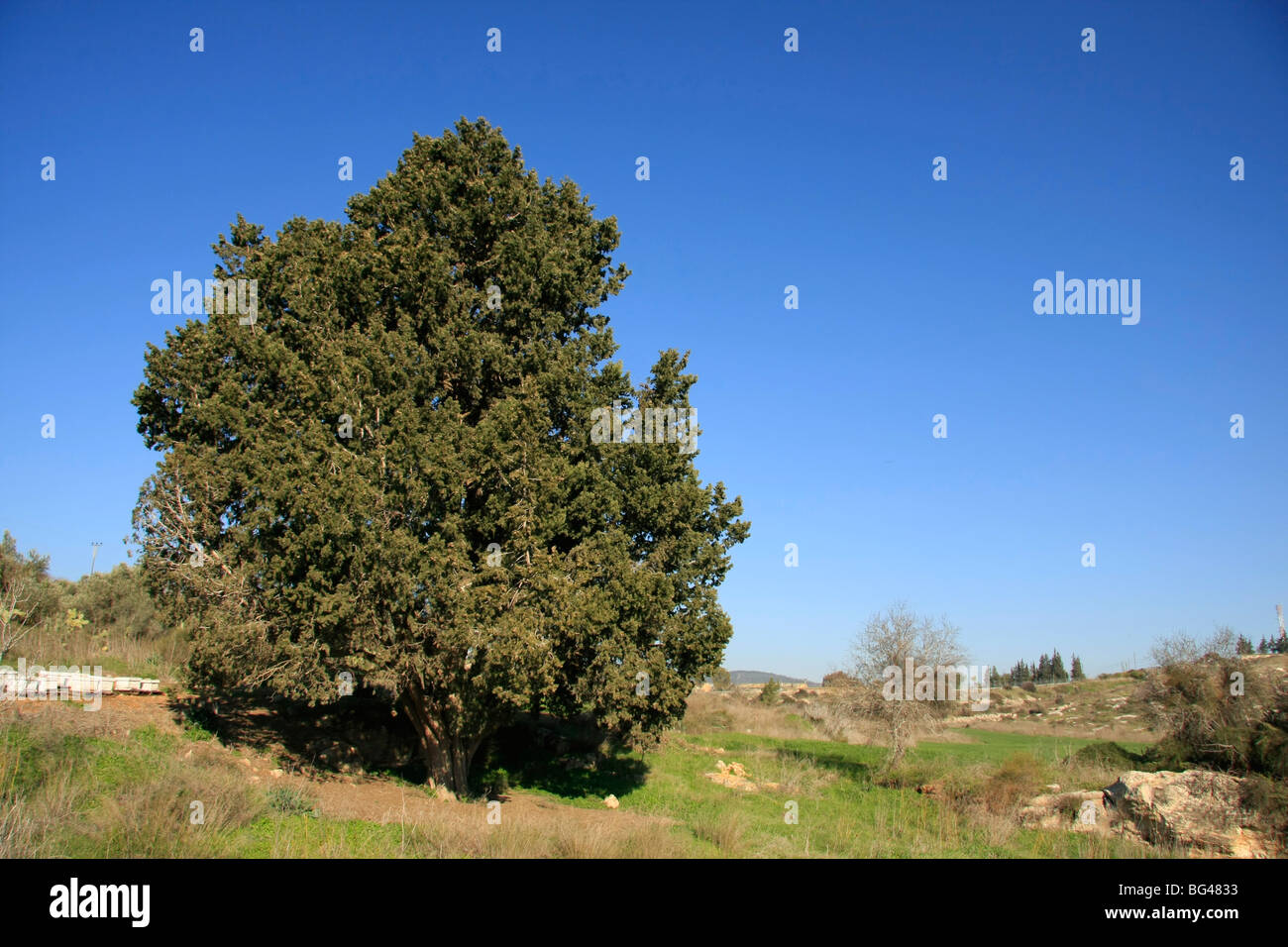 Israel, Lower Galilee, Cypress tree (Cupressus sempervirens) in Ilania - Stock Image