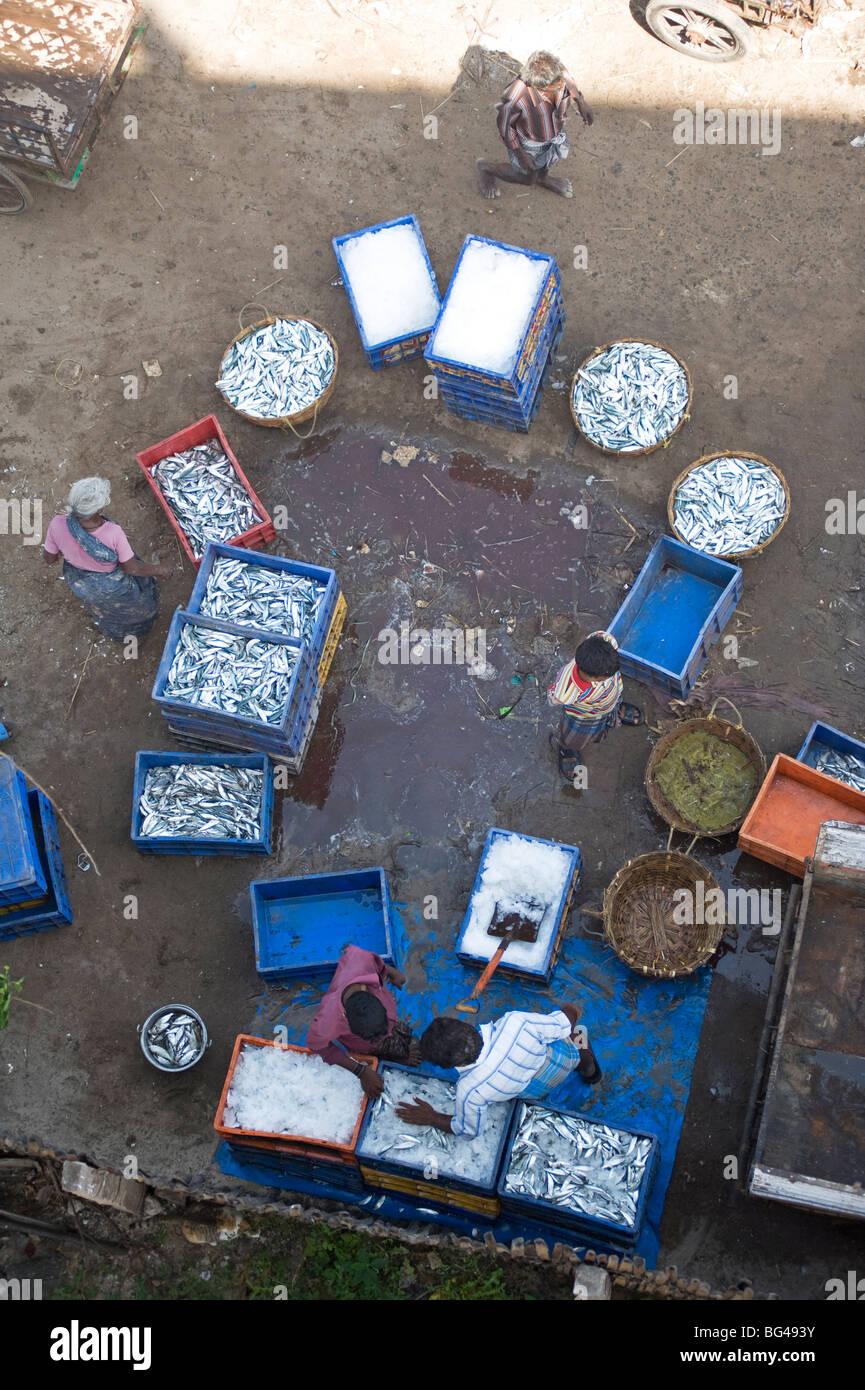 Sorting the morning's catch of fish, Dhanushkodi, Tamil Nadu, India, Asia - Stock Image