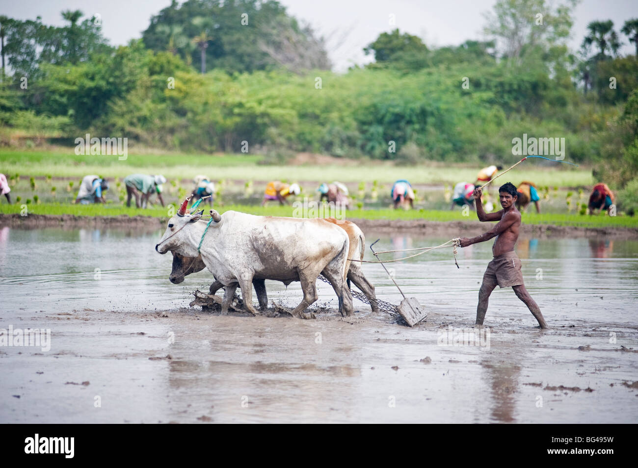 Farmer using cattle to plough rice paddy, rice planters in background, Tiruvannamalai district, Tamil Nadu, India, - Stock Image