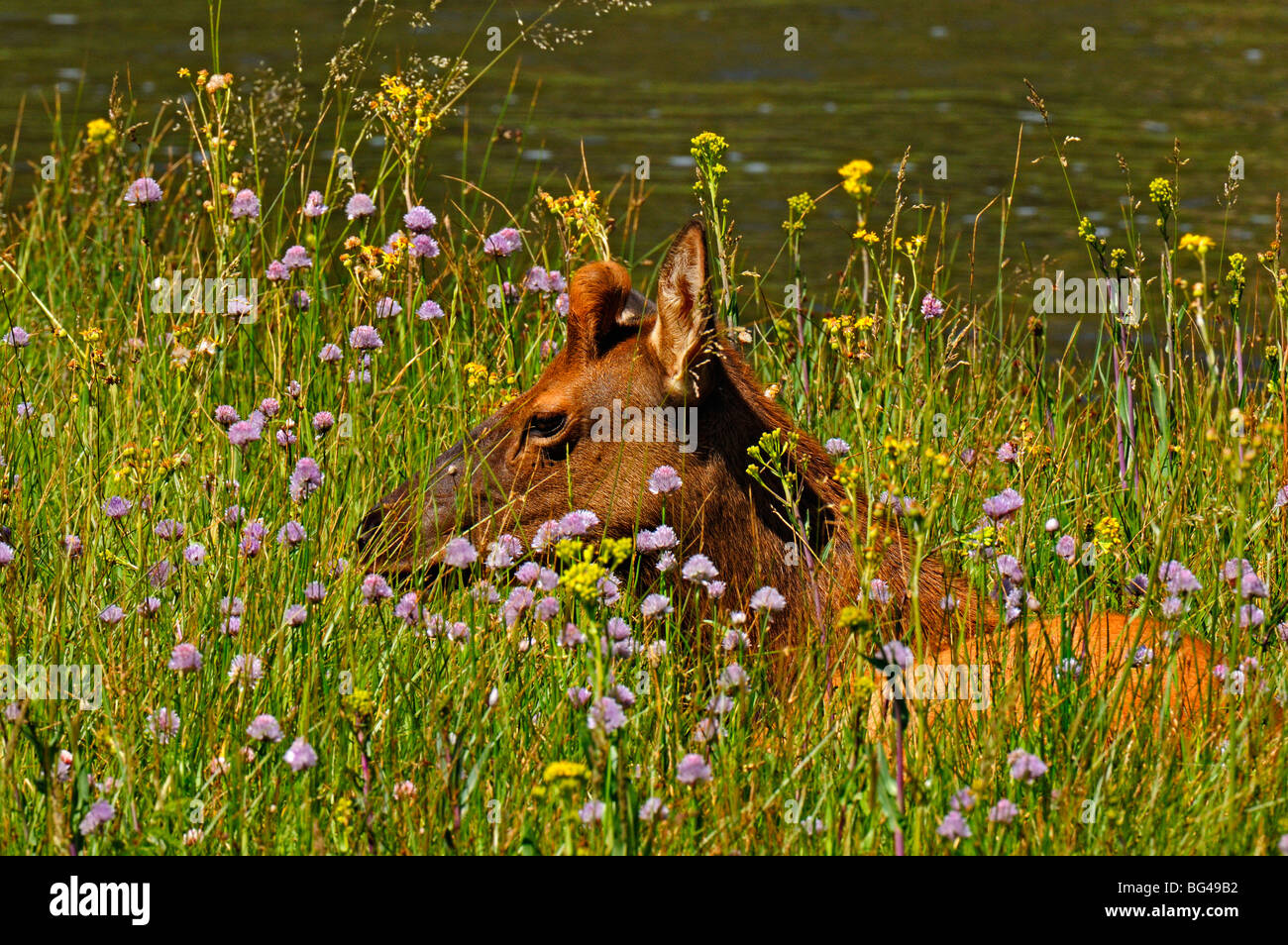 radio collared or tagged elk sitting in flowery meadow in